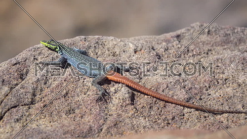 View of a rainbow colored Sekukhune flat lizard on a rock