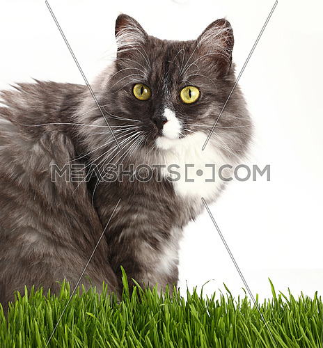 Close up portrait of one cute gray domestic cat looking at camera over fresh green grass on white background, low angle view
