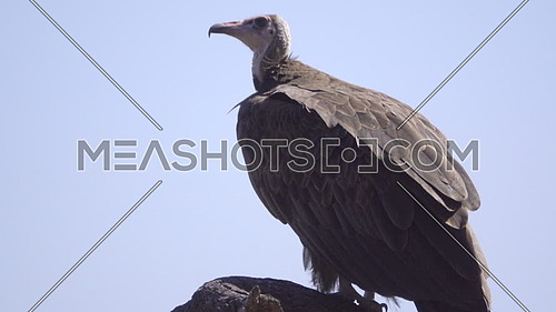 View of an alert hooded vulture