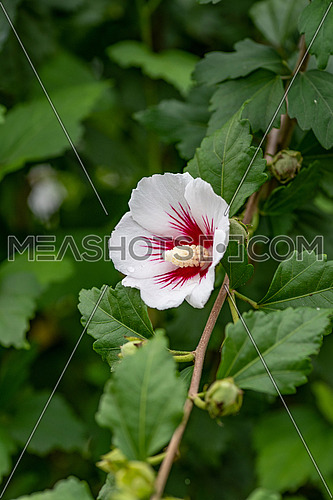 Hibiscus Syriacus (Rose of Sharon) growing in it's natural setting with foliage in the background.
