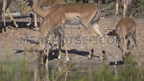 Scene of a group of Impala scared by crocodile