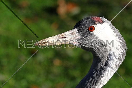 Portrait of a migrating crane