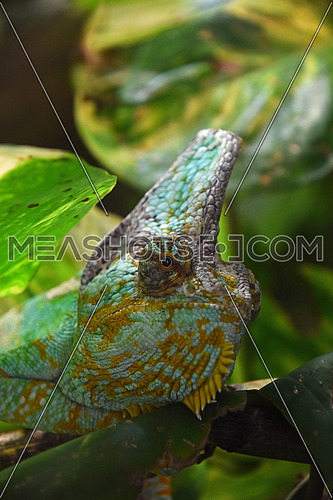 Close up profile portrait of Yemen veiled chameleon (Chamaeleo calyptratus) in green leaves, low angle, side view