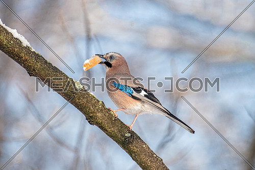 Closeup of a beautiful Eurasian Jay- Garrulus glandarius eating bread