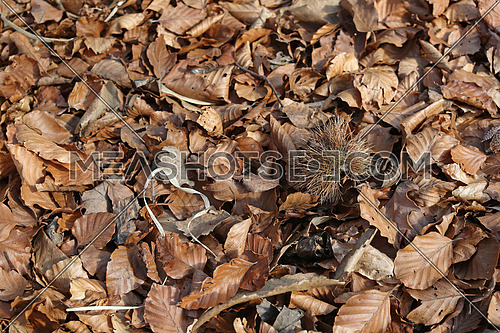 Beech and chestnut leaves on the ground in the fall background