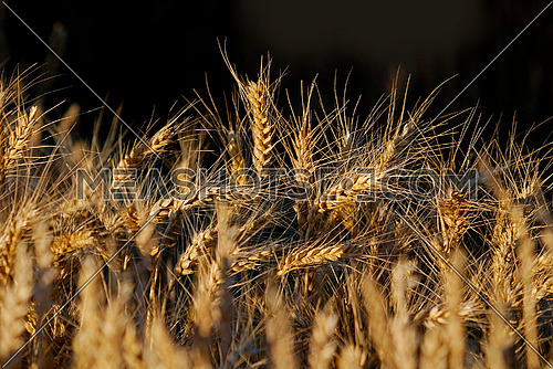 wheat and blue sky   (NIKON D80; 6.7.2007; 1/200 at f/6; ISO 100; white balance: Auto; focal length: 195 mm)