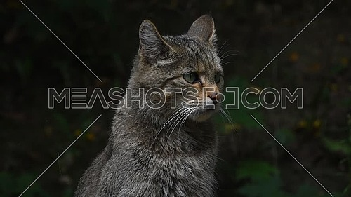 Close up side profile portrait of one European wildcat (Felis silvestris) looking away and turning head alerted, low angle view
