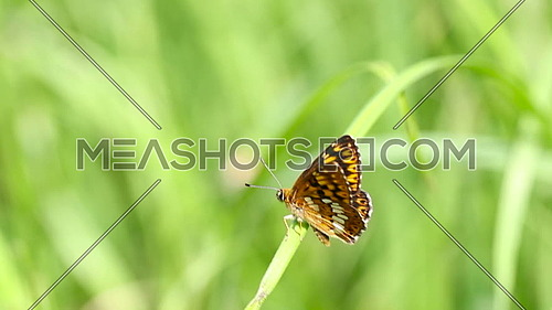 Black, orange and white butterfly on a strand of grass swinging in the wind
