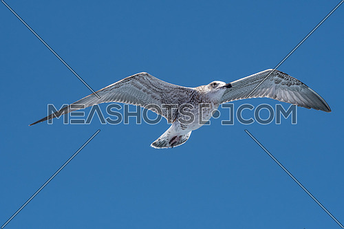 JuvenileYellow-legged gull (larus michahellis) in flight on blue sky