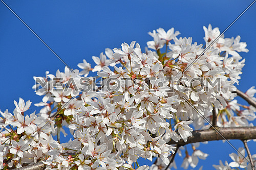 Branch of white cherry blossom sakura flowers with green leaves and fresh new buds over clear blue sky background