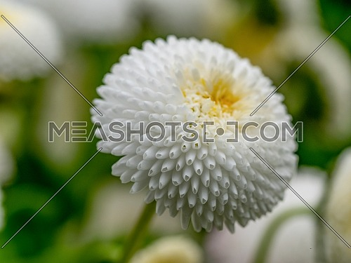 White English daisies - Bellis perennis - in spring park. Detailed seasonal natural scene.