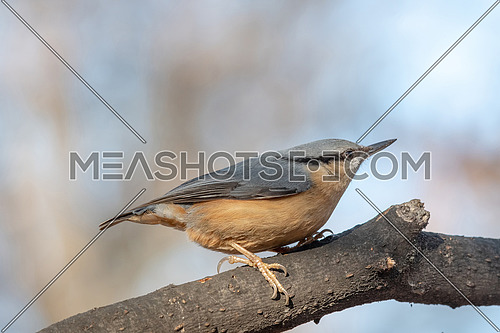 Eurasian Nuthatch Sitta europaea in winter, sitting on a tree trunk