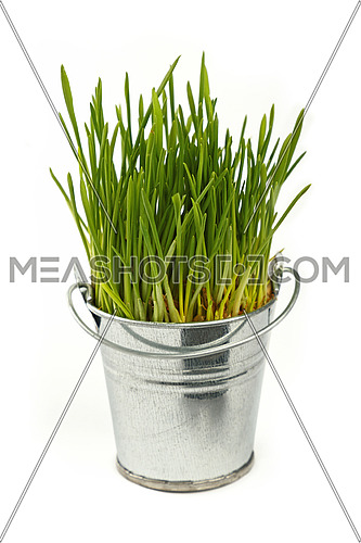 Spring fresh green grass growing in small unpainted metal bucket, close up over white background, side view
