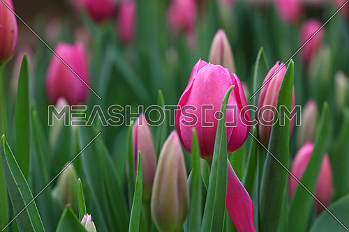 Pink fresh springtime tulip flowers with green leaves growing, close up, low angle view