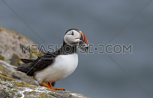 Atlantic Puffin (Fratercula arctica) at isle of May,Scotland