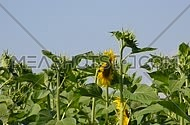 Green young fresh new sunflower buttons and buds with one open yellow flower head in the field over clear blue sky, low angle view, close up