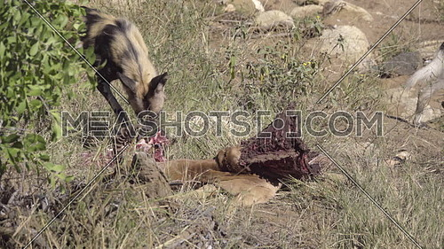 View of a Wild Dog chewing on an Impala
