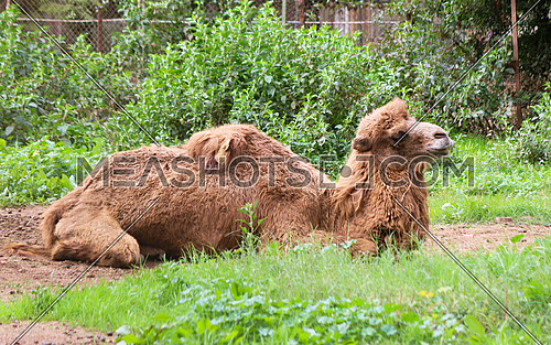 bacterian camel laying down in a green field