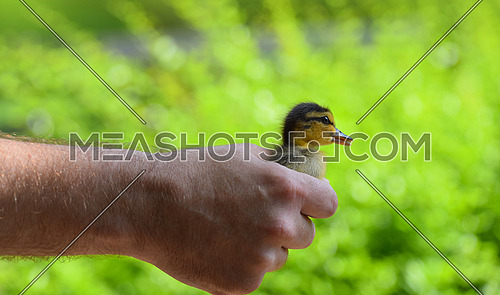 Close up man holding baby duckling in hand over green background, side view