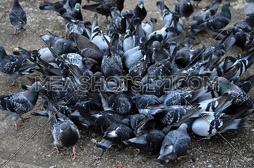 A group of wild pigeons gathered aiming on one spot of the floor eating their food
