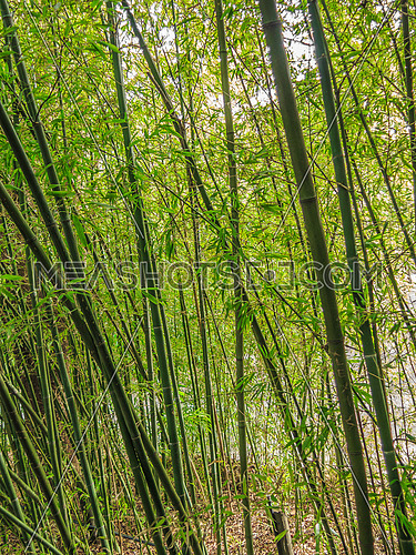 Tall green bamboo shoots in a garden swaying with wind