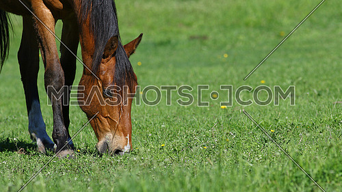 Brown horse grazing in green field with yellow dandelion flowers, nature background