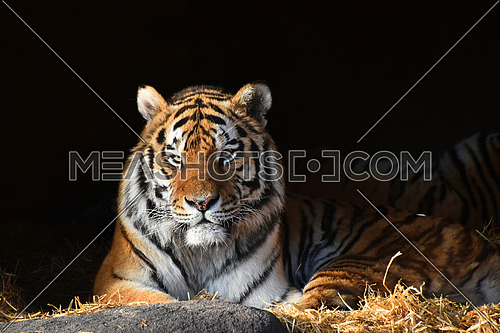One Siberian tiger (Amur tiger, Panthera tigris altaica) laying in light over dark shadow and looking at camera, low angle view