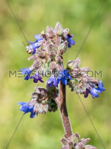 Field Gromwell (Buglossoides arvensis) is a flowering plant of the family Boraginaceae. It is native to Europe and Asia, as far north as Korea, Japan and Russia