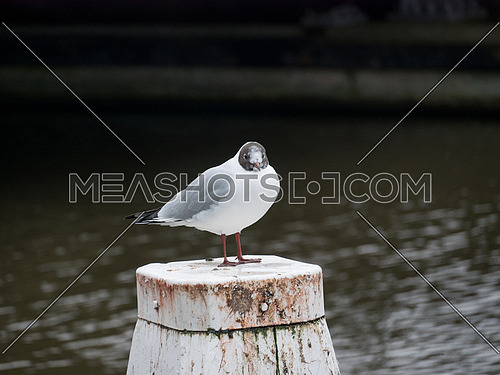 Black-headed gull - Chroicocephalus ridibundus on a perch