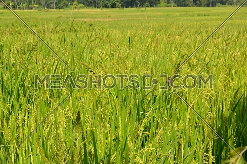 Natural Landscape Rice Fields With Yellow Paddy, Good Ecosystems Invite Birds to Come