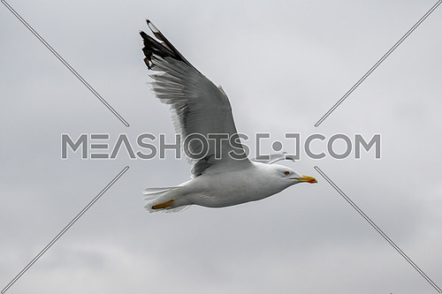 Close up of Caspian gull Larus cachinnans in flight