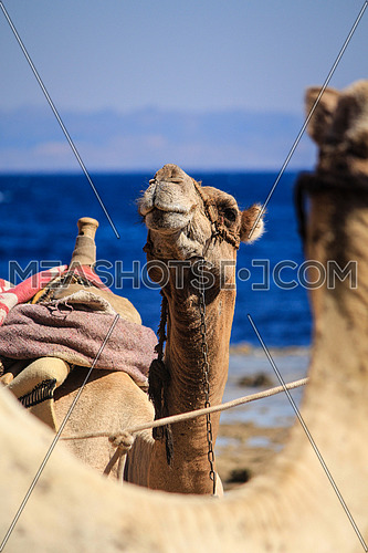 Camel portrait by the beach