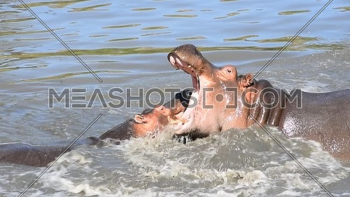 Couple of hippos swim, dive and play in river water with splashes biting each other in animal mating games, sunny day, close up, high angle view