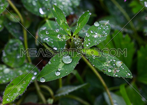 Close up rain or dew water drops on green clover leaves, high angle view