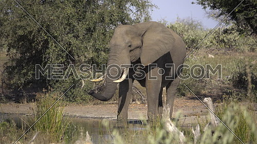 Scene as a bull elephant lazily stands at a waterhole