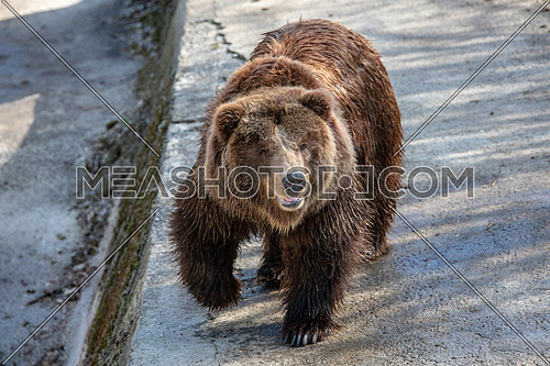 Eurasian brown bear ((Ursus arctos) This is the most widely distributed bear and is found across much of northern Eurasia and North America.