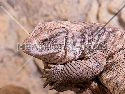 The Savannah Monitor (Varanus exanthematicus) is indigenous to the African savannah. It is known as Bosc's monitor in Europe, named after French scientist Louis Bosc who first described the species.