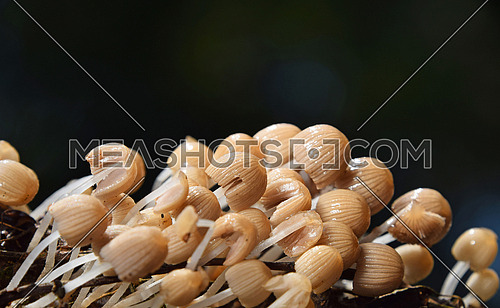 Close up colony of many toadstools, poisonous mushrooms over dark background, low angle view