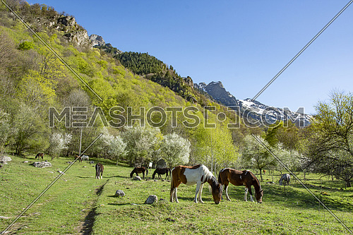 Grassland with purebred grazing horses in spring pasture. The herd of chestnut horses grazing on green meadow