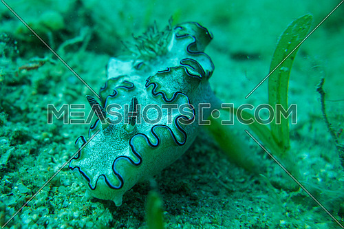 Nudibranch on sea bed