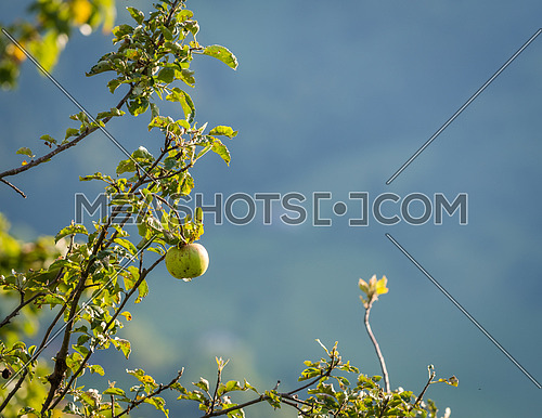Natural green apple without any treatment hanging on the branch in the apple orchard during the autumn.
