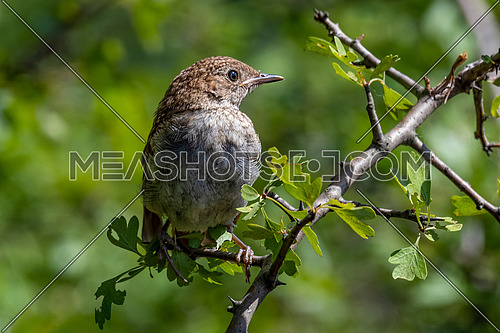 A common nightingale in the shrub is sitting on a branch. Bird the Nightingale sings in the spring.