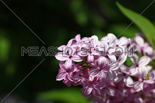 Close up pink purple lilac flowers with fresh spring green leaves, low angle view
