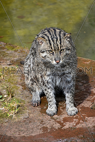 Portrait of wet fishing cat (Prionailurus viverrinus) sitting near water on the ground after hunt and looking at camera, high angle view
