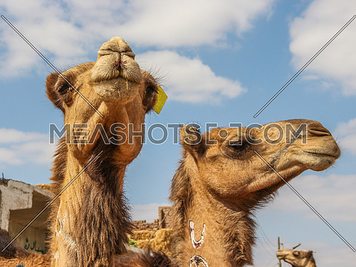 a photo for two camels in camel market, Giza , Egypt