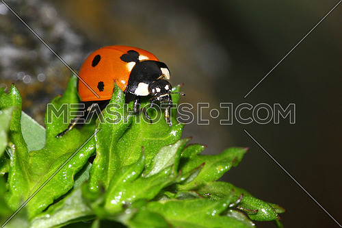 Closeup of a ladybug on green leaves