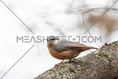 Close up picture of Eurasian nuthatch (Sitta europaea)