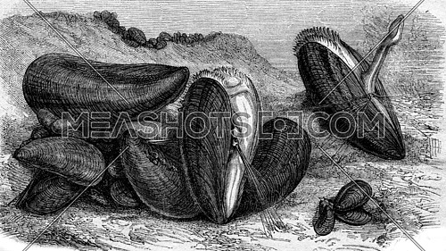 Edible mussels, vintage engraved illustration. Magasin Pittoresque 1873.