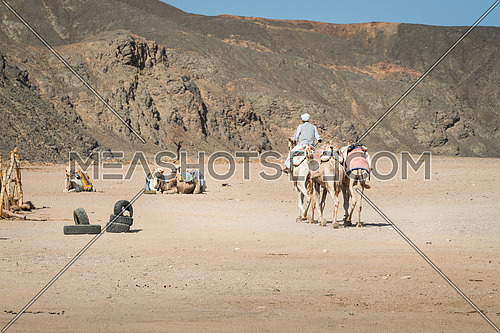 In the picture a Bedouin camel while on his back to his camp