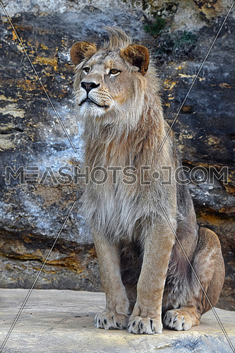 Portrait of young cute male African lion with beautiful mane, sitting on the rock and looking at camera and aside, low angle view